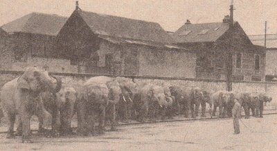 The Circus Amar elephants with Joseph Haak 1935.