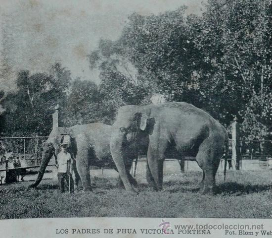 Male ♂ Asian elephant (Elephas maximus) Siam (Sayan) at Buenos Aires Zoo (Jardin Zoologico de Buenos Aires)