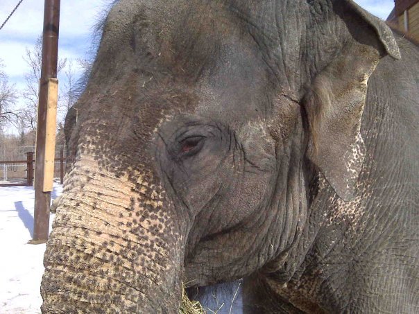 Female ♀ Asian elephant (Elephas maximus) Kamala at Smithsonian National Zoological Park