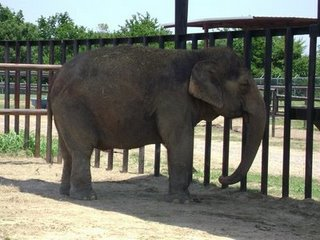 Female &#9792; Asian elephant (<i>Elephas maximus</i>) Lilly (Lillie) at Endangered Ark Foundation