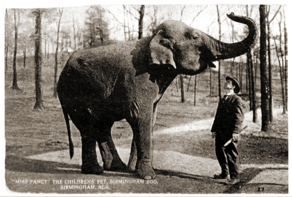 Female ♀ Asian elephant (Elephas maximus) Frieda (Bama, Miss Fancy) at Cole Brothers Circus