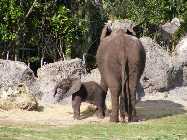 Male ♂ African Bush elephant (<em>Loxodonta africana</em>) Tsavo at Disneys Animal Kingdom