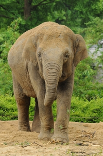Female ♀ Asian elephant Ma Ya Yee at Emmen Zoo