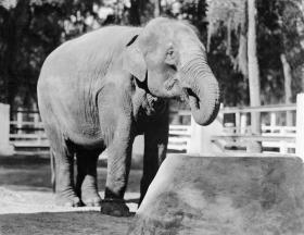 Female ♀ Asian elephant (Elephas maximus) Miss Chic at Jacksonville Zoo and Gardens