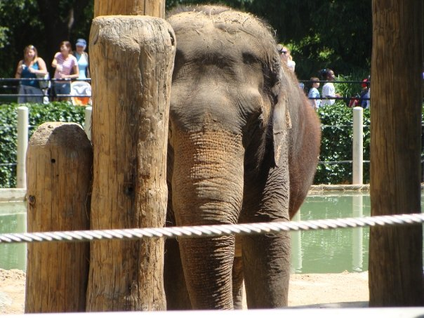 Female ♀ Asian elephant (Elephas maximus) Ambika at Smithsonian National Zoological Park