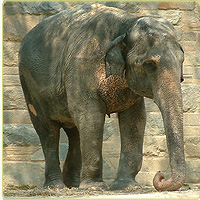 Female ♀ Asian elephant (Elephas maximus) Toni at Smithsonian National Zoological Park