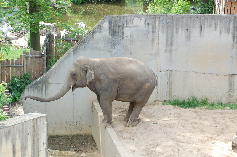 Male ♂ Asian elephant Nagathan (Naing Thein, Bully) at Leipzig Zoo