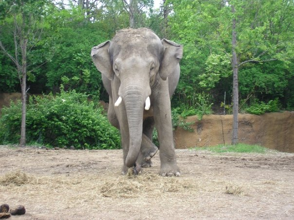 Male Asian elephant Raja at St Louis Zoo