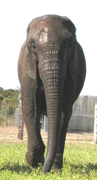 Male ♂ African Bush elephant (Loxodonta africana) Butch (Mickey) at EARS (Elephants of Africa Rescue Society)