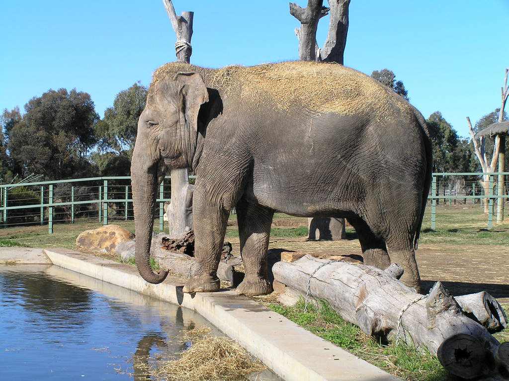 Female Asian elephant Gigi at Western Plains Zoo
