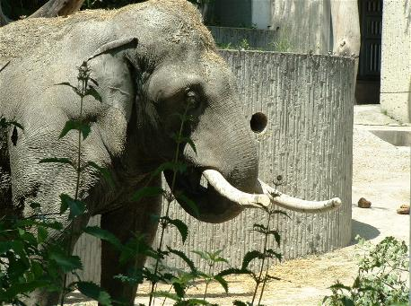 Male ♂ Asian elephant (Elephas maximus) Maxi (Maknah, Mak) at Zurich Zoo