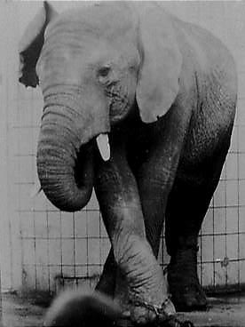 Salim photographed by killing keeper Gunter Lenz in Berlin Zoo, 1963.