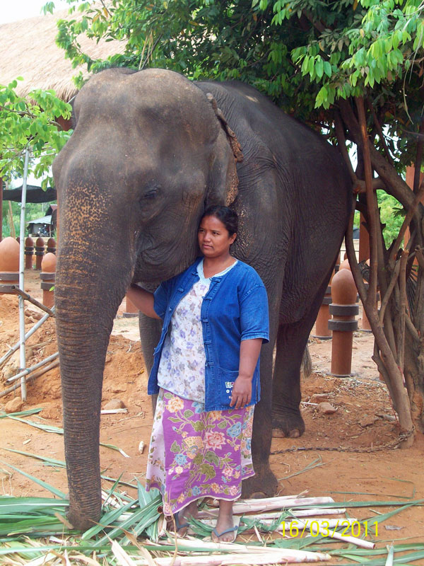 Female Asian elephant Pang Sombourn (พังสมบูรณ์) at Surin elephant study center (Baan Tha Klang Elephant Village)
