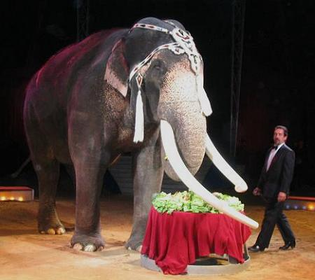 Male ♂ Asian elephant (Elephas maximus) Colonel Joe (Dillinger, Wise Guy) at Circus Krone