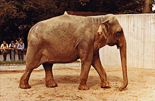 Female Asian elephant Dinah at Copenhagen Zoo (Zoologisk Have)