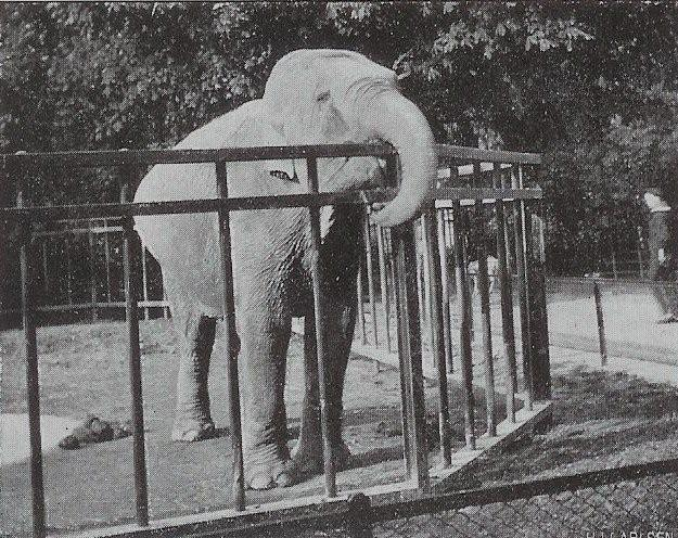 Female Asian elephant Ellen at Copenhagen Zoo (Zoologisk Have)