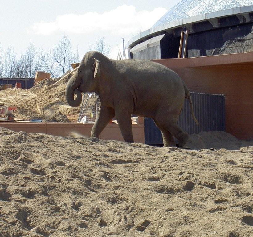 Female ♀ Asian elephant (Elephas maximus) Kungrao at Copenhagen Zoo (Zoologisk Have)