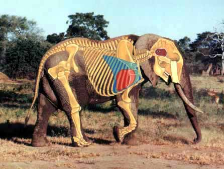 Elephant anatomy