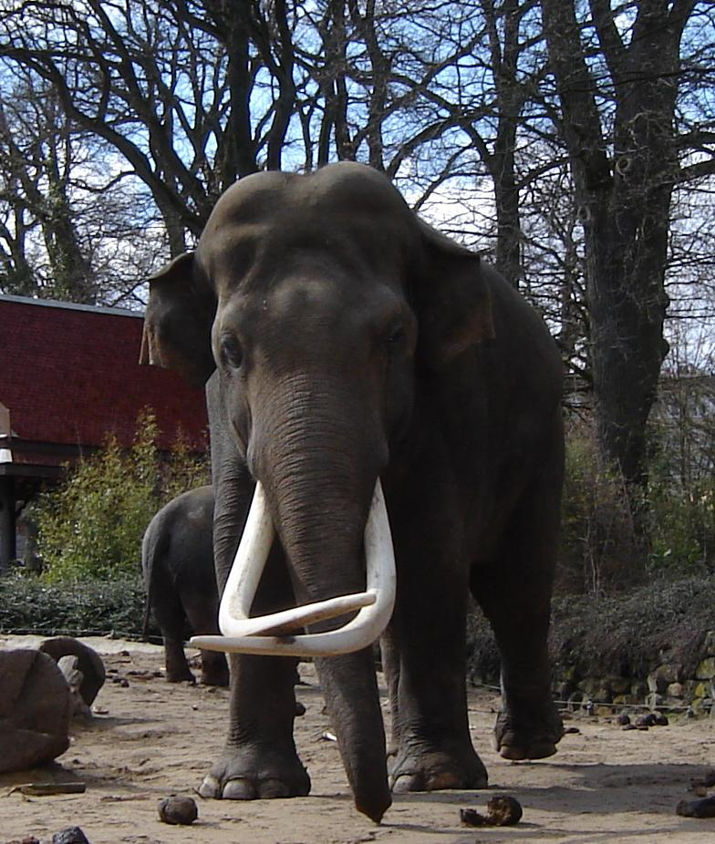 Male Asian elephant Radsch (Radza, Mysore) at Emmen Zoo