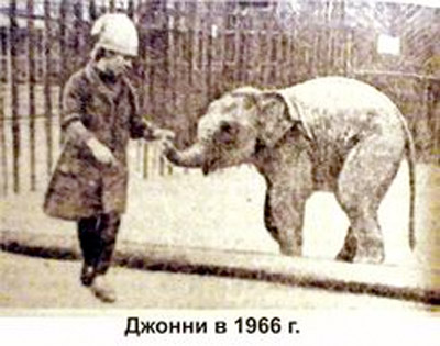 Male ♂ Asian elephant (Elephas maximus) John (Jonny) at Perm Zoo